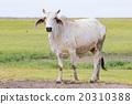 cow in livestock farm thailand 20310388