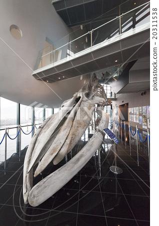 藍鯨的骨骼標本 20311538