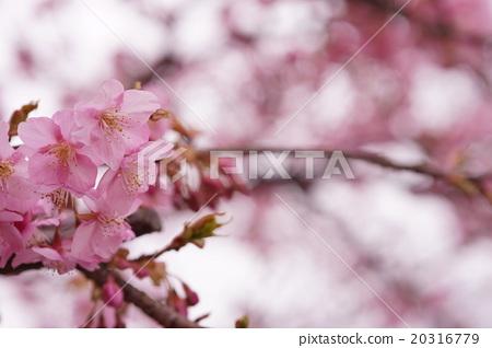 Cherry Blossoms 20316779