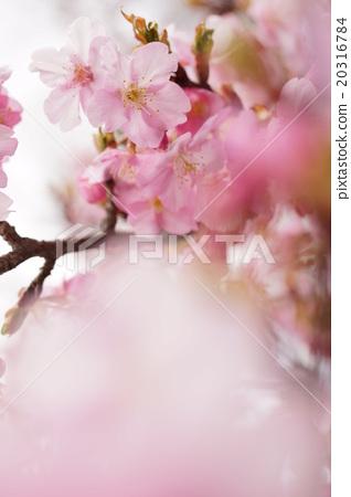 벚꽃 20316784