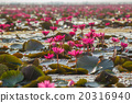 A vast lake full of water lilies of Talay Noi Wetl 20316940