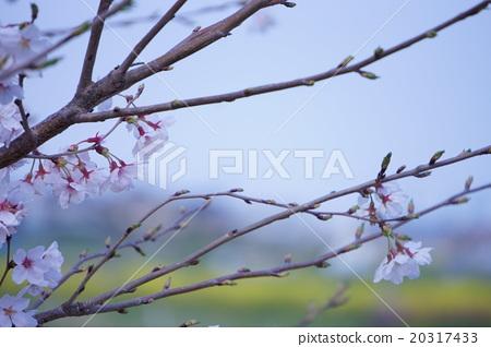 Yoshino cherry tree 20317433