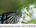 Macro of Butterfly on a white flower 20318468