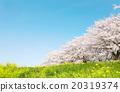 ดอกซากุระบาน,ซากุระบาน,ท้องฟ้าเป็นสีฟ้า 20319374
