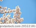 櫻花春天的照片 20322181