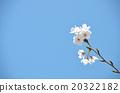 櫻花春天的照片 20322182