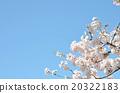櫻花春天的照片 20322183