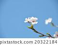 櫻花春天的照片 20322184