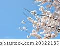 櫻花春天的照片 20322185