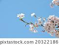 櫻花春天的照片 20322186