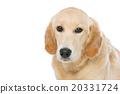 金色 狗狗 狗 20331724