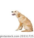 Young beautiul golden retriever dog 20331725