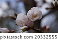 Cherry blossoms in the park 20332555