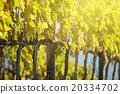 Vineyard in Italy 20334702
