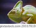 Eboshi Chameleon Chameleon Chamaeleo calyptratus 20337619