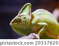 คาเมเลี่ยน,สัตว์,ภาพวาดมือ สัตว์ 20337620