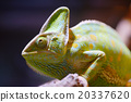 Eboshi Chameleon Chameleon Chamaeleo calyptratus 20337620