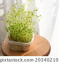 豆芽 水產養殖 自然光 20340210