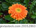 菊 菊花 橙色 20352863