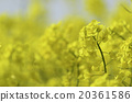 rapeseed flower 20361586