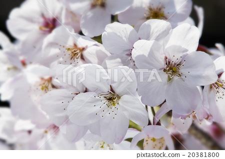 盛開的櫻花 20381800