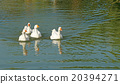 group of white domestic goose in pond 20394271