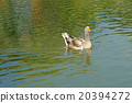 group of domestic goose in pond 20394272
