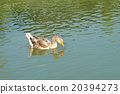 group of domestic goose in pond 20394273