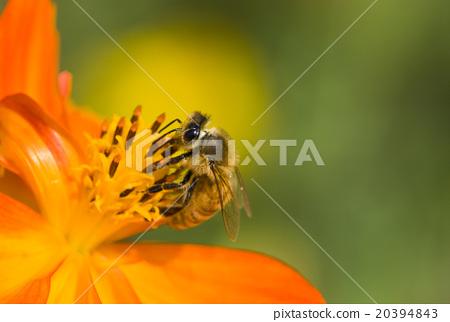 在波斯菊上採蜜的蜜蜂 20394843