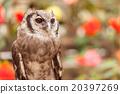 owl, bird, birds 20397269