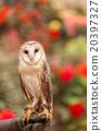 owl, bird, birds 20397327