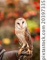 owl, bird, birds 20397335