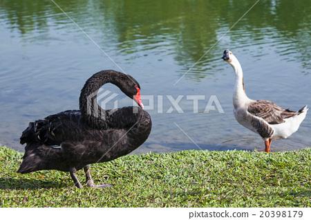 湖上的黑天鵝 20398179