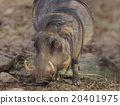 Common Warthog Grazing 20401975