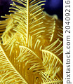 comatulida, echinoderm, sea urchin 20409216
