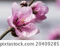 桃花 花朵 花卉 20409285