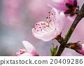 桃花 花朵 花卉 20409286