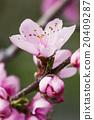 桃花 花蕾 花卉 20409287