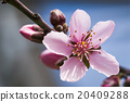 桃花 花朵 花卉 20409288