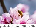 桃花 花朵 花卉 20409289
