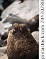 South American fur seals 20420280