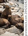 South American fur seals 20420282