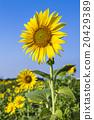 向日葵 花朵 花卉 20429389