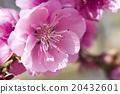桃花 花朵 花卉 20432601