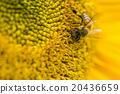蜜蜂 花朵 花卉 20436659