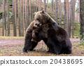 brown bear (Ursus arctos) in winter forest 20438695
