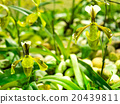 Lady slipper green orchid 20439811