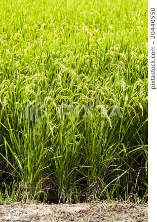黃金稻浪 20440550