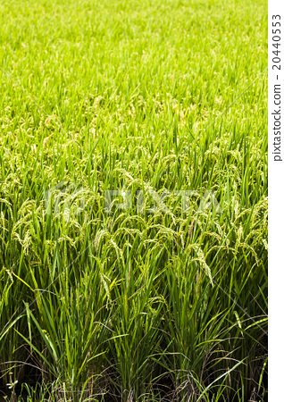 Golden rice wave 20440553