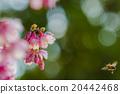 櫻花 開花 花卉 20442468